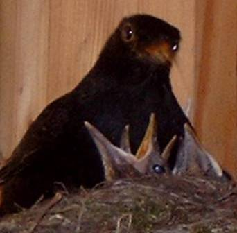 Father blackbird feeding chicks